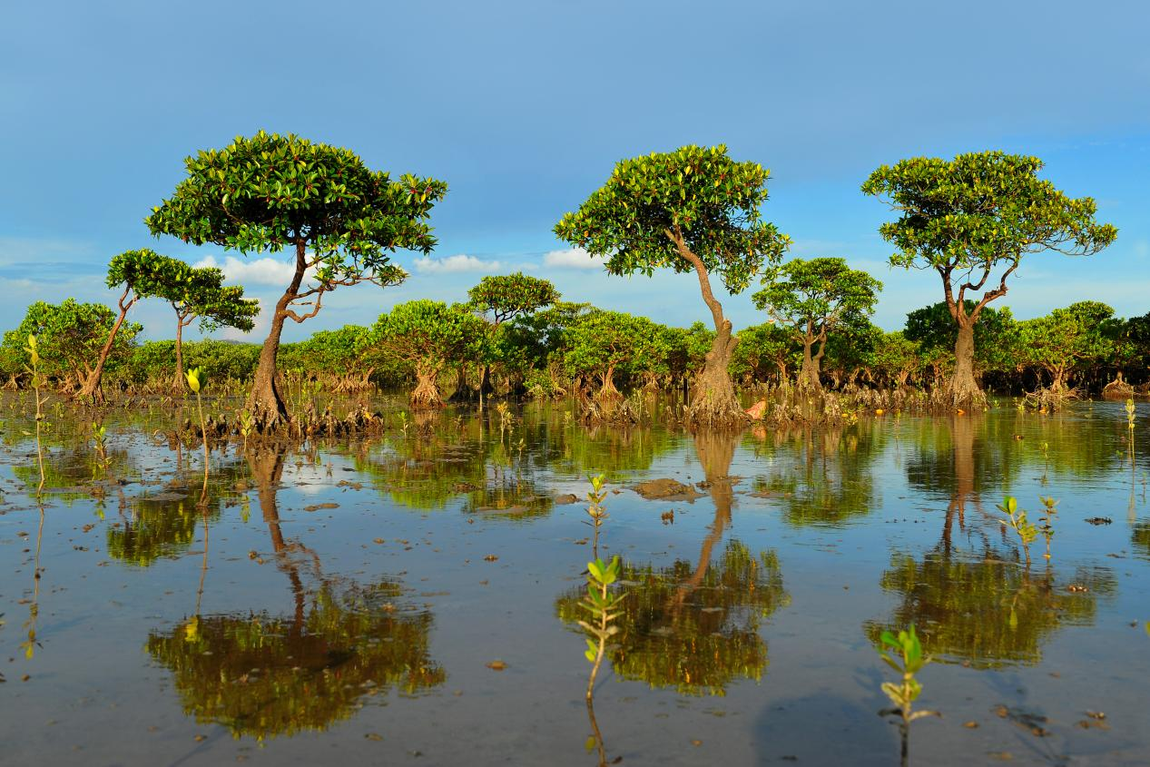 说明: 红树林