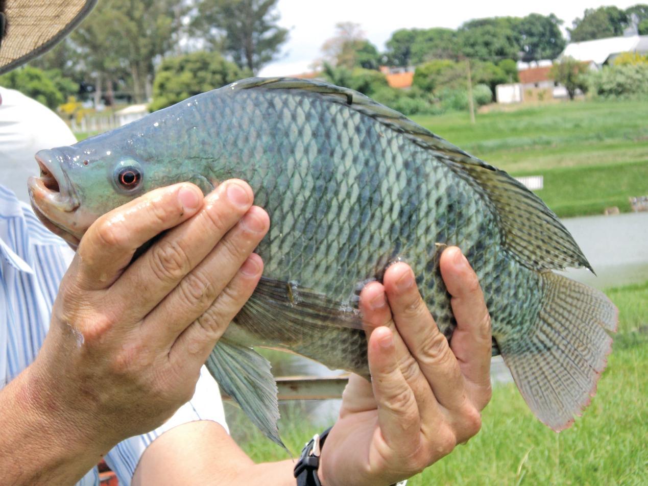 罗非鱼因其杂食偏草食的特性,加上短短三个月的孵化周期,让罗非鱼对任何淡水环境都有极强的适应力