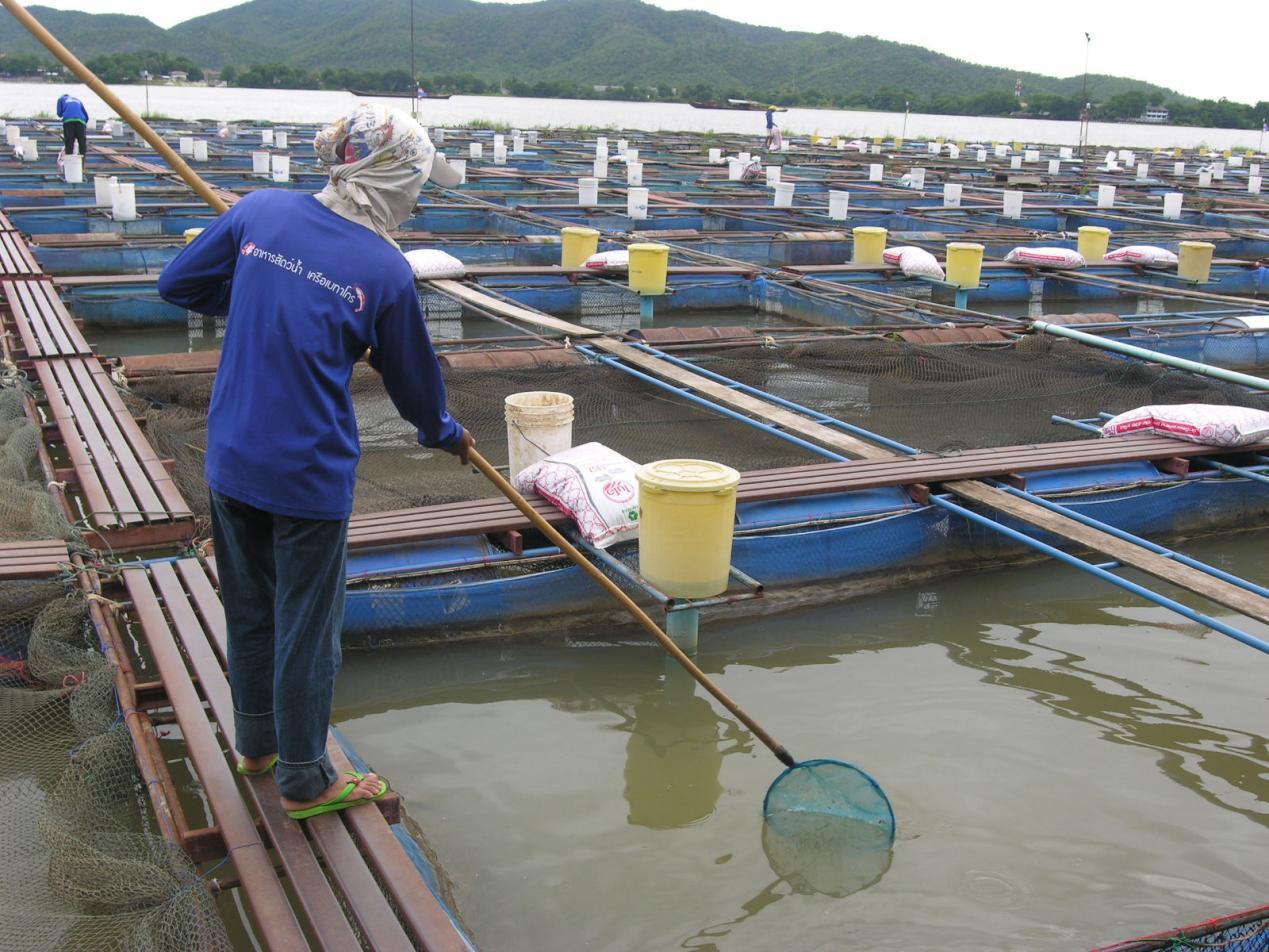 在王室的支持和引导下,泰国渔业部得以创新发展水产技术,促进罗非鱼大规模商业化养殖